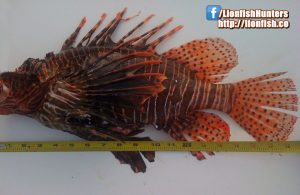 World Lionfish Hunters Association world record for longest lionfish caught by spear.