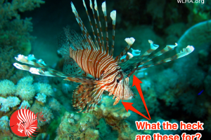 7 Interesting Facts About Invasive Lionfish You Might Not Know