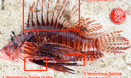 Lionfish FAQ