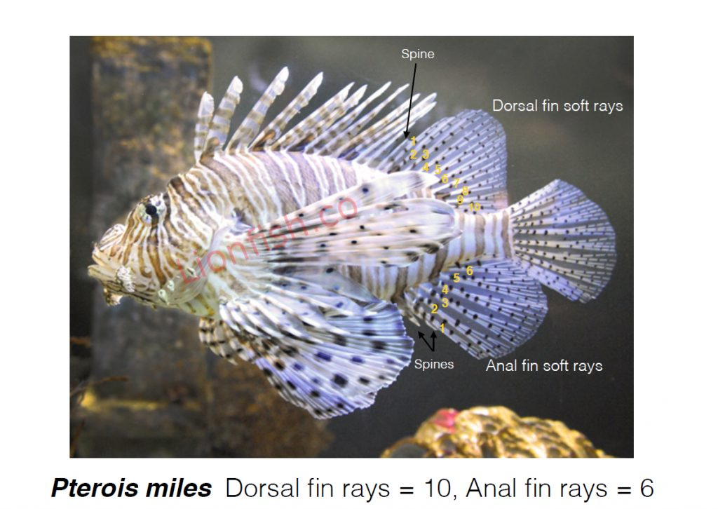 Pterois Miles fin ray count