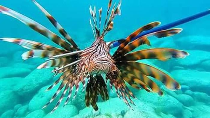 Lionfish contest