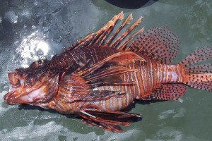Lionfish wanted! Sell your lionfish to Florida seafood dealers