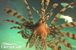 Lionfish Hunting with a Submarine