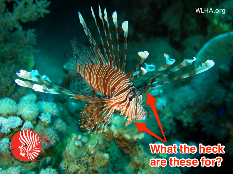 7 interesting facts about invasive lionfish you might not for Interesting facts about fish