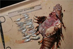 Lionfish Eat Everything - Stomach Contents