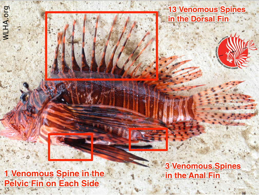 Location of Venomous Spines on a Lionfish