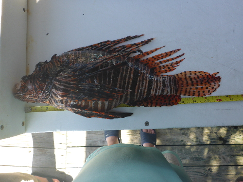 41cm lionfish speared in Florida on August 15