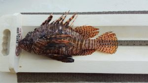 correct way to measure lionfish for lionfish contest