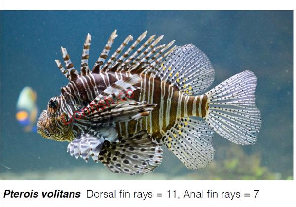 Is that lionfish a Pterois Miles or Pterois Volitans?
