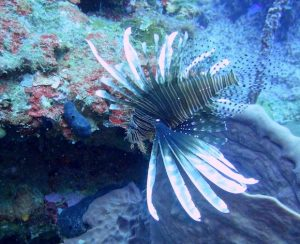 The beautiful lionfish