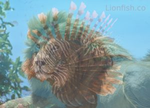 Why is the lionfish called a lionfish?