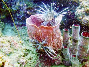 Lionfish around a barrel sponge