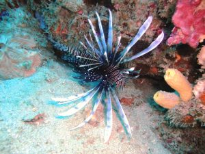Lionfish in the sand on the edge of the reef