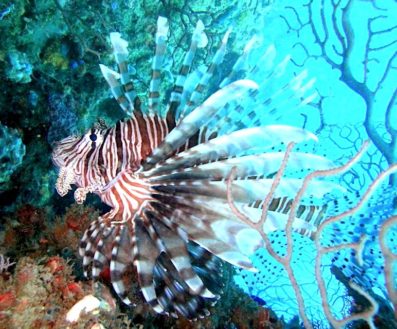 Better late than never, Cyprus begins culling lionfish