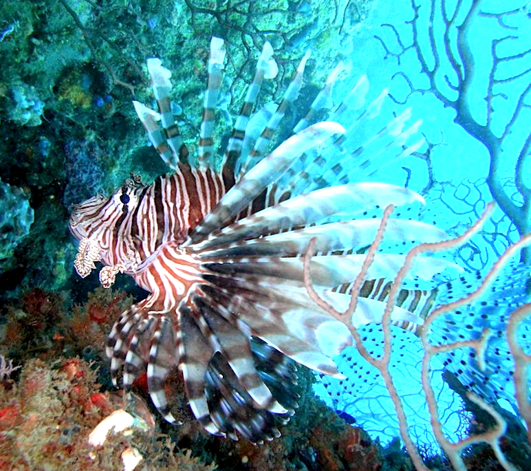 Lionfish in Cyprus
